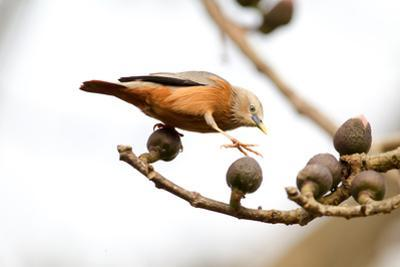 A Malabar Starling, Sturnia Blythii, Walking across Flower Buds on a Tree Branch by Roy Toft