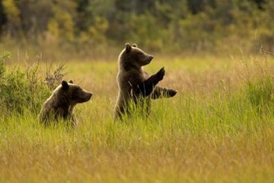 A Pair of Brown Bears Standing and Sitting in a Meadow by Roy Toft