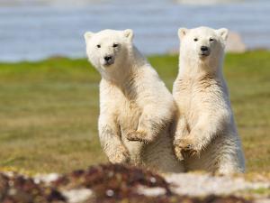 A Pair of Polar Bear Cubs, Ursus Maritimus by Roy Toft