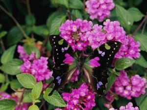 A Purple Passion Butterfly Lands on Pink Flowers by Roy Toft