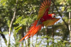 A Scarlet Macaw in Flight by Roy Toft