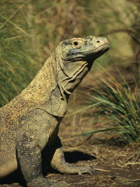 A Side-View Portrait of a Captive Komodo Dragon by Roy Toft