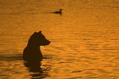 A Silhouetted Brown Bear Sitting in the Water at Sunrise by Roy Toft