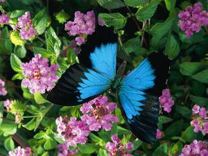 A Ulysses Butterfly, Native to Australia, Lands on Some Pink Flowers by Roy Toft