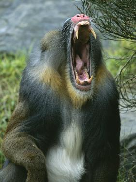 A Yawning Mandrill by Roy Toft