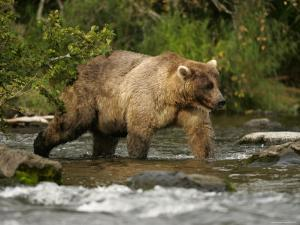 Alaskan Brown Bear (Ursus Arctos) Walking in River and Fishing by Roy Toft