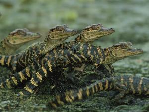 American Alligator Babies on Log, Texas by Roy Toft