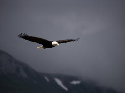 American Bald Eagle, Haliaeetus Leucocephalus, Soaring by Roy Toft