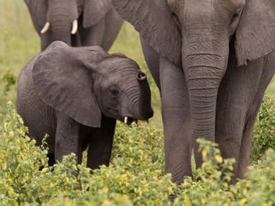 An African Elephant Calf, Loxodonta Africana, Standing Next to Mother by Roy Toft