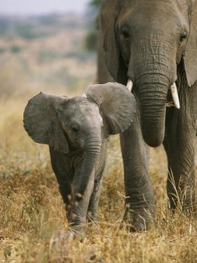 An African Elephant Walks with it Young by Roy Toft