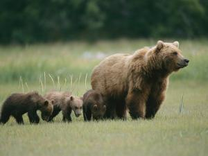 An Alaskan Brown Bear Leads Her Three Cubs by Roy Toft