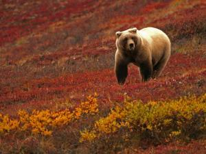 An Alaskan Brown Bear Standing on a Tundra with Fall Foliage (Ursus Arctos) by Roy Toft