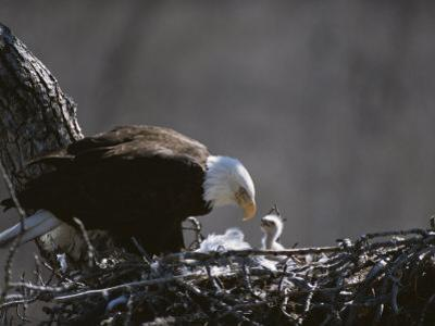 An American Bald Eagle and Chick by Roy Toft