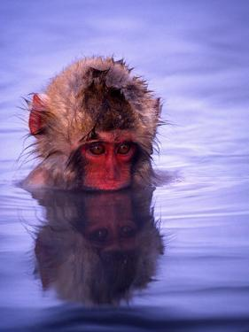Baby Japanese Macaque (Snow Monkey) Bathing in Natural Hot Springs by Roy Toft