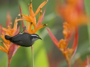 Bananaquit (Coereba Flaveola) Perched on Orange Heliconia Flower by Roy Toft