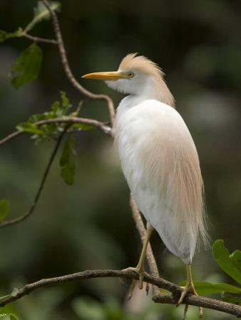Cattle Egret Perched on Branch by Roy Toft