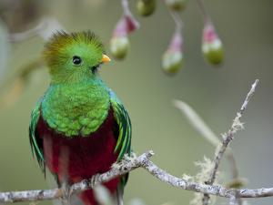 Close Up of a Resplendent Quetzal, Pharomachrus Mocinno, in a Tree by Roy Toft