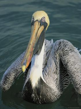 Close View of a Brown Pelican by Roy Toft
