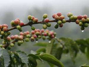 Close View of Coffee Beans with Dew Drops by Roy Toft