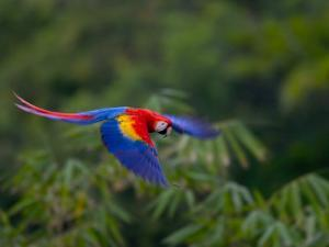 Colorful Scarlet Macaw (Ara Macao) in Flight Over Green Forest by Roy Toft