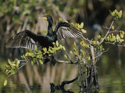 Double-Crested Cormorant with Wings Outstretched by Roy Toft