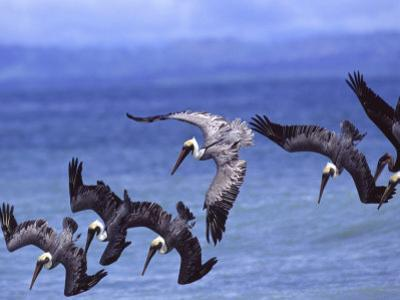 Group of Brown Pelicans (Pelecanus Occidentalis) Diving into Water by Roy Toft