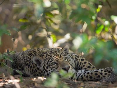 Jaguar, Panthera Onca, Resting in Shade by Roy Toft
