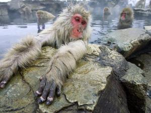 Japanese Macaques or Snow Monkeys, Adult in Foreground with Arms Extended on Rock, Honshu, Japan by Roy Toft