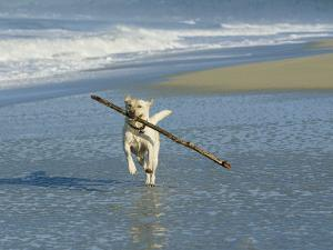 Labrador Retriever Running on Beach with a Stick in its Mouth by Roy Toft