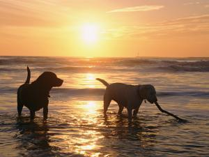 Labrador Retrievers Play in the Water at Sunset by Roy Toft