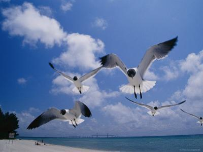 Laughing Gulls, Florida by Roy Toft