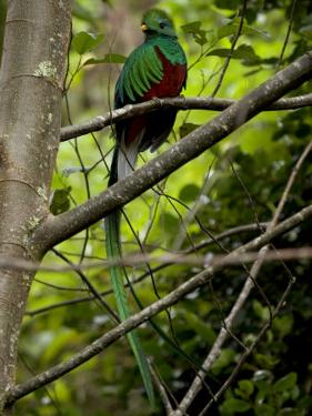Male Resplendent Quetzal (Pharomachrus Mocinno) on a Tree Branch by Roy Toft