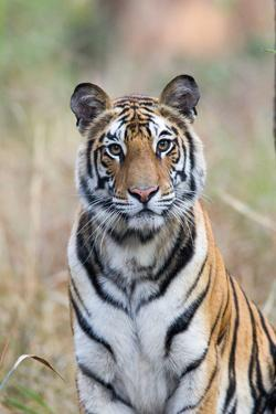 Portrait of a Bengal Tiger, Panthera Tigris Tigris by Roy Toft
