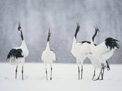 Red Crowned Crane (Grus Japonensis) Courtship Dance, Hokkaido, Japan by Roy Toft
