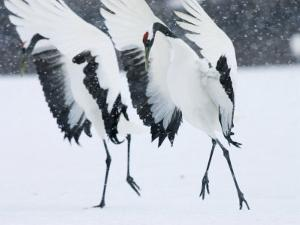 Red-Crowned Crane, Hokkaido, Japan by Roy Toft