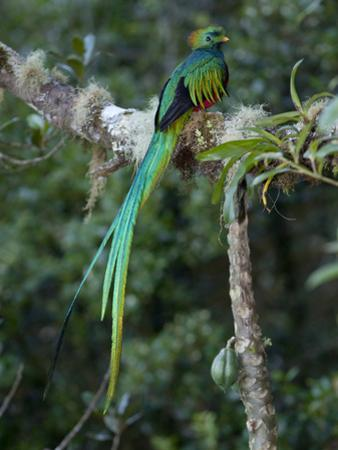 Resplendent Quetzal, Pharomachrus Mocinno, Bird Perched in a Tree by Roy Toft