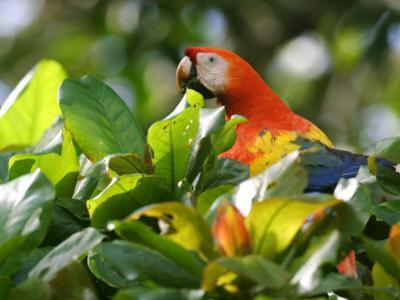 Scarlet Macaw, Peering Through Leaves, Costa Rica by Roy Toft