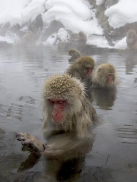 Snow Monkeys (Macaca Fuscata) Bathing in Natural Hot Springs by Roy Toft