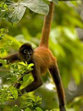 Spider Monkey (Ateles Geoffroyi) Hangs by Tail with Mouth Open by Roy Toft