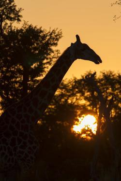 The Silhouette of Giraffe and Trees at Sunset by Roy Toft