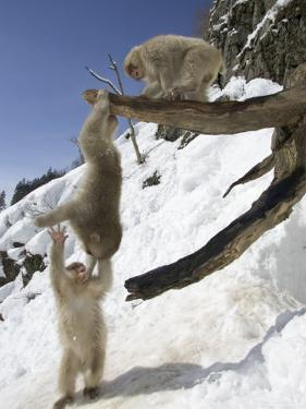 Three Japanese Macaques (Snow Monkeys) Play on a Branch, One Hanging by Roy Toft