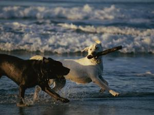 Two Labrador Retrievers Play with a Stick on a Beach by Roy Toft