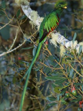 View of a Male Resplendent Quetzal (Pharomachrus Mocinno Costricensis) by Roy Toft