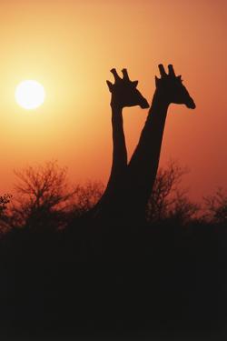 Zimbabwe, Maasai Giraffe Standing at Sunset by Roy Toft