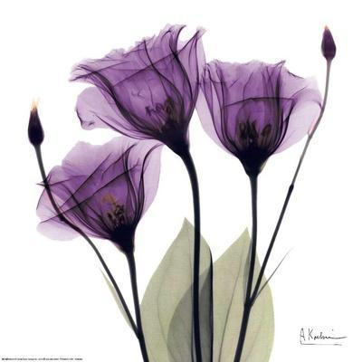 https://imgc.allpostersimages.com/img/posters/royal-purple-gentian-trio_u-L-F4W3LO0.jpg?artPerspective=n
