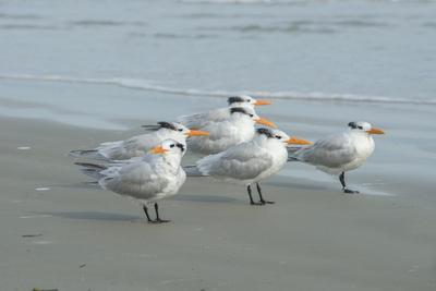 https://imgc.allpostersimages.com/img/posters/royal-tern-new-smyrna-beach-florida-usa_u-L-Q1D0SHO0.jpg?p=0