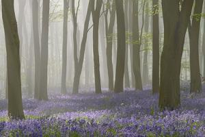 Woodland Filled with Bluebells on a Misty Spring Morning Near Micheldever in Hampshire by Rtimages