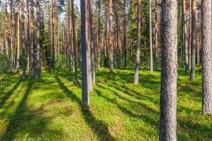 Pine Forest with the Sun Shining through the Trees by rtsubin