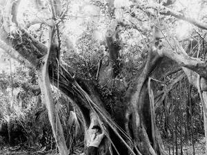 Rubber Tree, Lake Worth, Fla.