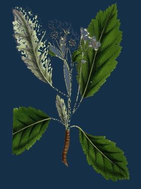 Rubus Idaeus; Raspberry